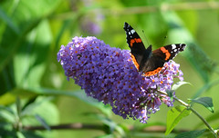 Red Admiral butterfly on a Buddliea (Helen @ Heart Of Glass) Tags: red butterfly dorset admiral bridport buddliea lewesdon 55200mm summernikon nikond7000