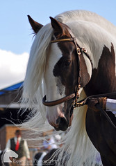 Gypsy cob stallion (Vicktrr) Tags: portraits hair piebald showing stallion canter showjumping sabino foal friesian inhand skewbald gypsyvanner highlandpony headstudy gypsycob colouredcob equifest welshsectiond welshsectionc colouredcobs cleaphillips equifest2012 hairycob welshdtrot