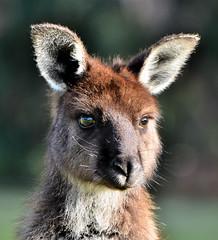 (potatolovertwo) Tags: animals island grey wildlife australia kangaroo highqualityanimals