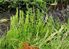 kapcsos korpafű / groundpine (debreczeniemoke) Tags: summer plant bog gutin muskeg nyár növény lycopodiaceae groundpine lycopodiumclavatum keulenbärlapp stagshornclubmoss tőzegláp haraszt canonpowershotsx20is gutinhegység munţiigutâi wolfsklaue wolfsfootclubmoss korpafű kapcsoskorpafű korpafűfélék tăulchendroaiei munţiigutin farkasnyom kutyalánc földönfolyófenyő kapcsosmoh lycopodeenmassue licopodioofficinale cruceapământului pedicuţa gutinmountains