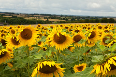 Once a field of gold... (Helen Flynn) Tags: canon d sunflowers 50 hertfordshire select hitchinlavender cadwellfarm