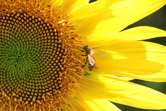 Ape Laboriosa (xiaolifra) Tags: fiore fiori flower flowers luce riflesso lights estate colori spring summer colors petali bees corolla