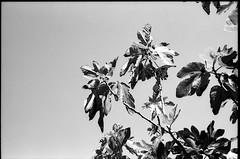 Fig Tree - In the garden  - Mougins - France (waex99) Tags: 2016 25iso 28mmf2 35mmf28 cannes epson july leica m6 nice rollei singapore summaron summicron film v500 mougins garden still tree fig figuier jardin arbre