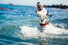 Shark (Leo Hidalgo (@yompyz)) Tags: canon eos 6d dslr reflex random yompyz ileohidalgo fotografa vsco film cam love like dog animal dalmatian dlmata perro fuengirola mlaga espaa spain