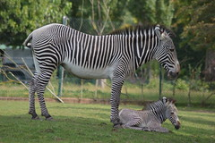 Grevy's zebra (James L Taylor) Tags: chester zoo 18 august 2016 animals grevys zebra equus grevyi