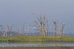 Egrets Gone Wild (Parris Photography) Tags: egrets landscape scenery primehook parrisphotography delaware