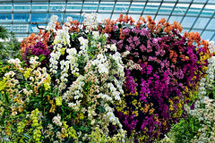 Orchid Extravaganza (chooyutshing) Tags: flowers orchids orchidextravaganza floraldisplay flowerdome gardensbythebay baysouth marinabay singapore