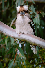 IMG_5673 (bektravels) Tags: sigma 150600mm c canon70d birding wildlife australia australian kookaburra bird native gumtree wattle tree wild