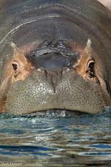 River Hippo (Mark Dumont) Tags: animals cincinnati dumont hippo mammal mark zoo
