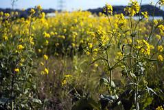 L1008148c (haru__q) Tags: leica m8 leitz summaron field mustard