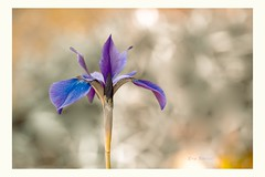 Closeness (Krasne oci) Tags: iris flower flowerart evabartos nature photographicart beautifulphoto bokeh springtime flickr