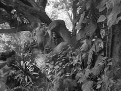 La diosa de la Jacaranda BN IMG_4660 (fernandodelatorre46) Tags: vistahermosa estadodemorelos mxico mexico jardinesdemxico jardinesdeamrica