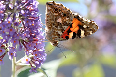 Nature As A Designer (gripspix (OFF)) Tags: 20160807 nature natur flower blume distelfalter paintedlady cosmopolitanbutterfly vanessacarduisyncynthiacardui schmetterling butterfly schmetterlingsflieder summerlilac