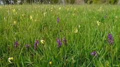Kleines Knabenkraut (Orchis morio) (franzopitz) Tags: orchis morio kleinesknabenkraut eifel seidenbachtal feuchtwiese selten naturschutzgebiet