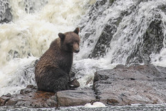 IMG_6550_1 (kalday) Tags: chichagofisland alaska pavlofriver brownbear grizzlybear kodiakbear