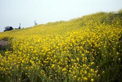L1008479c (haru__q) Tags: leica m8 leitz summicron field mustard 菜の花