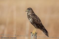 Buteo buteo (LdrGilberto) Tags: guia dasa redonda buzzard buteo bird ave nature natureza wild buteobuteo commonbuzzard eurasianbuzzard