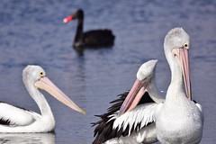 The creature behind us is possessed (Luke6876) Tags: australianpelican pelican bird animal wildlife australianwildlife blackswan swan