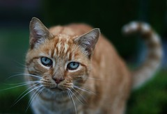 Blue Eyes (janroles) Tags: friendly ginger blueeyes feline animal nature dof whiskers eyes animalplanet canoneos400d flickr