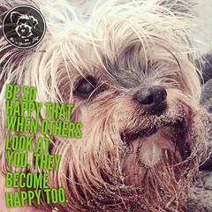To be happy is easy, when a Yorkie is around. (itsayorkielife) Tags: yorkiememe yorkie yorkshireterrier quote