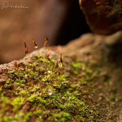 Moha / Moss (diskalcs) Tags: dof drops cseppek spring tavasz moss moha macro makr