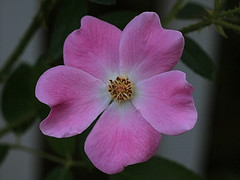 Pink Flower Macro (hbickel) Tags: pink flower macro macrolens photoaday pad canont6i canon