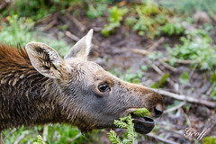 Baby Moose (gwhiteway) Tags: moose alcesalces herbivore antlered vertebrate mammal ungulate ruminant hoofed wildlife oneanimal sideview grass forest wild wilderness nature ecology ecotourism standing foraging feed feeding baby