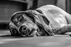 Patient Ponder (SowfPaw) Tags: basset hound dog ears eyes droopy sleepy pet fur perro sigma a6000