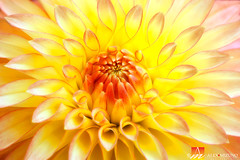 Dahlia-23 (Nualchemist) Tags: flower plant nature simplyflowers petals pink bloom green greenleaves floralphotography dahlia yellow red summer fullbloom botanical bright light floral heavenly macro orange 2016dahiashow colorful white closeup delightful glorious magical soft goldengatepark pretty palepink lightpink enchanting sanfrancisco singleflower cheerful joyful delight california colors palette botanicalgarden organicpattern purple lavender designbynature geometric elementsofdesign silky velvet softlight veil tender flame fire