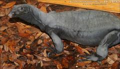 9/5/2016 BDVS3 Black Dragon Varanus Salvator (khomeini) (Tarantula Fan) Tags: black dragon asian water monitor lizard bdvs3 varanus salvator khomeini