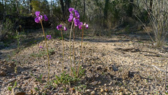 purple pea upright (John Tann) Tags: muluerindie warrabahnationalpark nsw australia september 2016 geo:country=australia