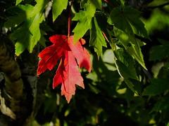 Change (clarkcg photography) Tags: leaf leaves tree maple orange fall oklahoma signs time season