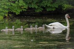 Six cygnets and a swan (John Glass) Tags: swan cygnet