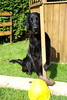 DSC_0902 (Flat Coated Retriever in Berlin) Tags: zeuthen 20011 clicker halten