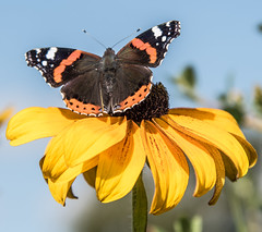 Red Admiral Butterfly (joanjbberry) Tags: redadmiral butterfly insect flower vanessaatalanta nymphalidae rudbeckia daisy garden outdoors