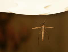 Hanging Around (ParkyPie) Tags: daddy longlegs hanging around chilling beautiful tired insect funny clinging holdontight