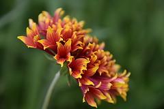 Flower (eowina) Tags: flowers macrogarden meadow nature