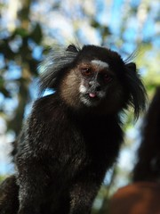P7219491 (FotoManiacNYC) Tags: rio riodejaneiro brazil brasil paodeacucar pao hill viewfromthetop viewfromabove birdseyeview monkey sagüi tamarin marmoset macaco vacation vacations sunbathing