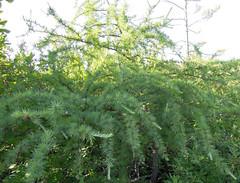 tamarack (Larix laricina) (corvid01) Tags: plant tree tamarack larix pinaceae americanlarch larixlaricina pinopsida pinales coniferophyta