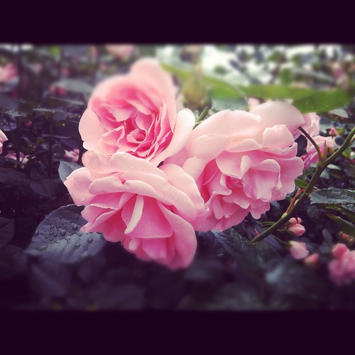 Roses are pink...