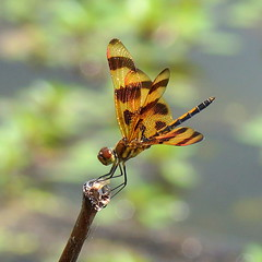 halloween pennant (aokcreation - part-time) Tags: macro nature water animal closeup insect countryside dragonfly bokeh wildlife ngc npc naturesfinest halloweenpennant beautifulexpression blinkagain bestofblinkwinners sunrays5