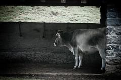 stalla (Jocker 83) Tags: italy grass cow nikon italia mucca prato lombardia vacca d90 alpeggio campanaccio cainallo