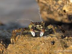 Annoyed Sea Crab Spraying Water @ Baliharichandi, Konark (Ar.Shakti Nanda) Tags: from sea sun india water sand photographer view you photos or crab spray architect photograph fiddle everyone nanda orissa shakti puri bhubaneswar konark workx baliharichandi