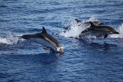 delfini tra  panarea e stromboli 2 (Ghost-in-the-Shell) Tags: sea italy islands mediterranean italia p eolie stromboli delfino panarea isole eolian isoleeolie