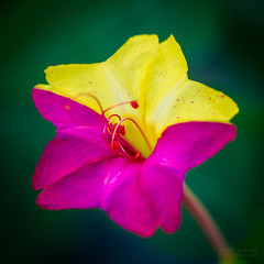 Four O' Clock (jciv) Tags: pink red flower yellow mirabilis jalapa fouroclock mirabilisjalapa file:name=dsc01119