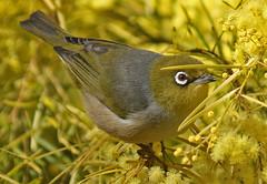 Yet Another Silvereye (TheGreatContini) Tags: cute bird yellow golden small sydney australia tiny newsouthwales silvereye wattle