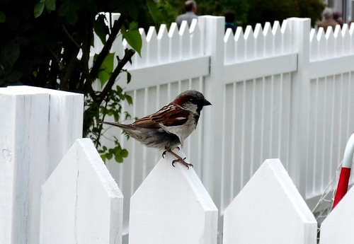 Sparrow in Andalsnes