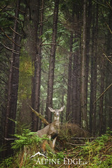 North Shore Wildlife (AlpineEdge) Tags: trees canada green animal vancouver standing forest mammal intense looking dominate britishcolumbia ears center deer stare northvancouver lush oldgrowth blacktail temperaterainforest blacktaildeer seymourvalley kingdomanamalia