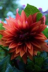 My Petals Show (Sk8eMom) Tags: life dahlia flowers light red wild summer orange sun hot flower art love nature floral strange beautiful leaves gardens closeup canon wonderful garden dark fire hope living leaf petals spring amazing cool interesting flora colorful pretty different purple heart natural bright blossom vibrant unique gorgeous awesome creative grow deep seed fresh special attitude earthy wicked bloom imagine change fade summertime bouquet blaze delicate magical gaze heavenly brilliant element explosive dahlias perennial flowercloseup perennials discover darker
