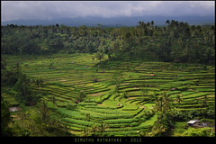 Paddy Terraces (DT_Rat) Tags: bali rice paddy